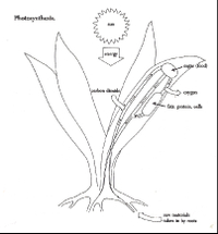 Sc00441185photosynthesis
